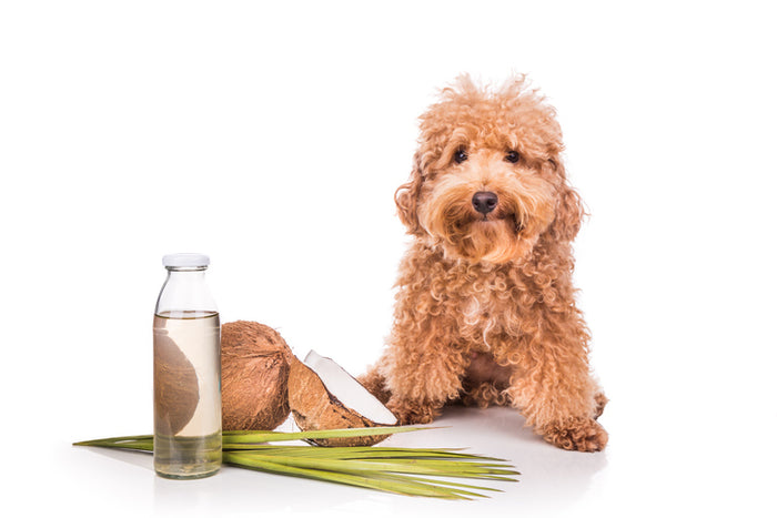 The Benefits of Coconut Oil for Dogs