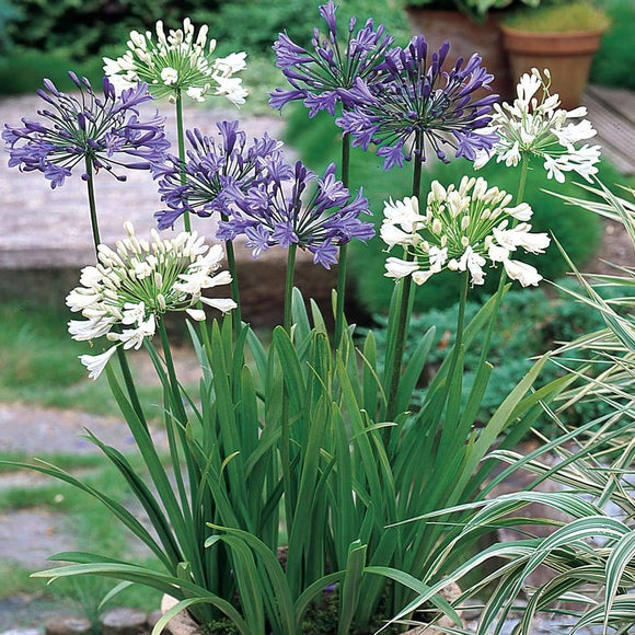 AGAPANTHUS - Mixed