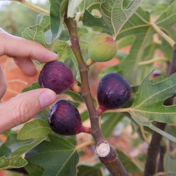Fig - Tangiers – Purple – Dark Pink Fruit