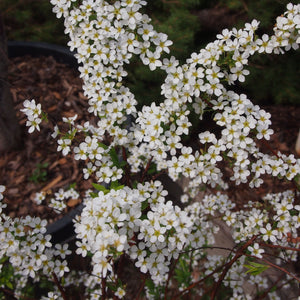 SPIREA ARGUTA - Bridal Wreath, Foam of May