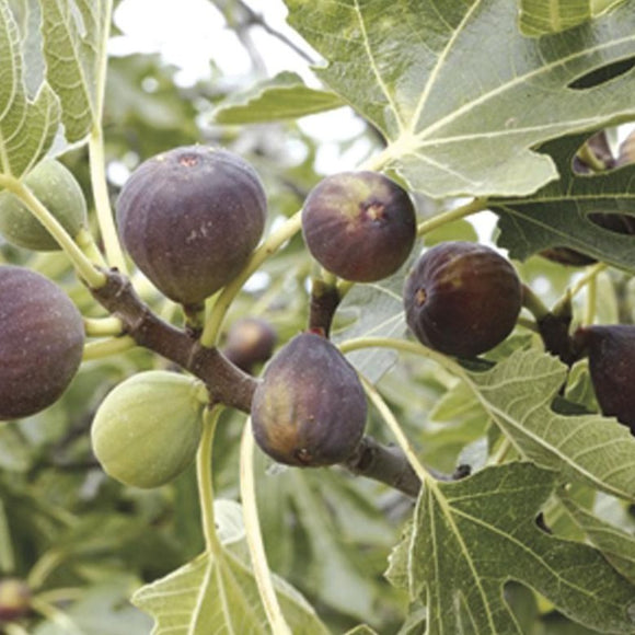 Fig - Avignon – Purple Green Bands-Pink Fruit