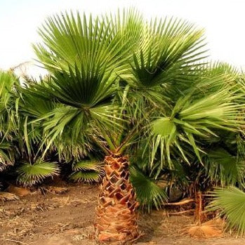 WASHINGTONIA ROBUSTA -Waaierpalm