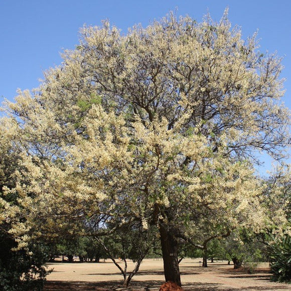 ACACIA NIGRESCENS - Knobthorn