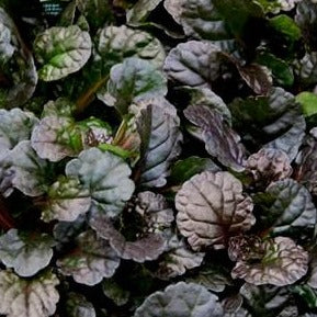 AJUGA DARK MAHOGANY GREEN
