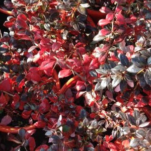BERBERIS - Park Jewel