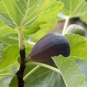 Fig - Blackmission
