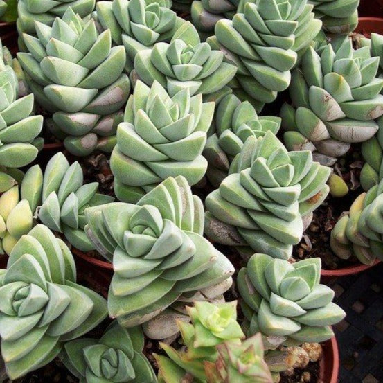 CRASSULA - Moon Glow