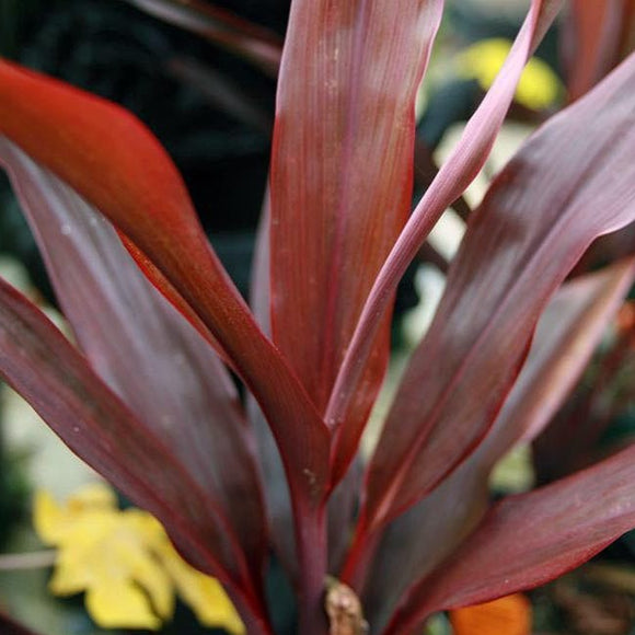 Cordyline Maroon Magic