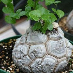 DIOSCOREA - Elephantipes