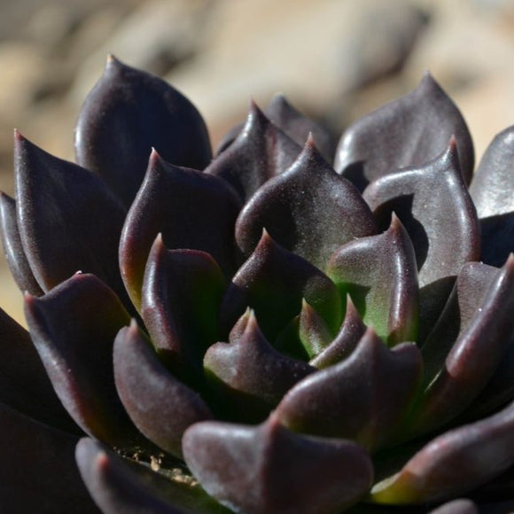 ECHEVERIA - Black Prince (Dark Brown)