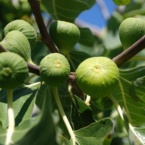 Fig - White Genoa