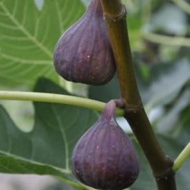 Fig - Turkish Black Fig