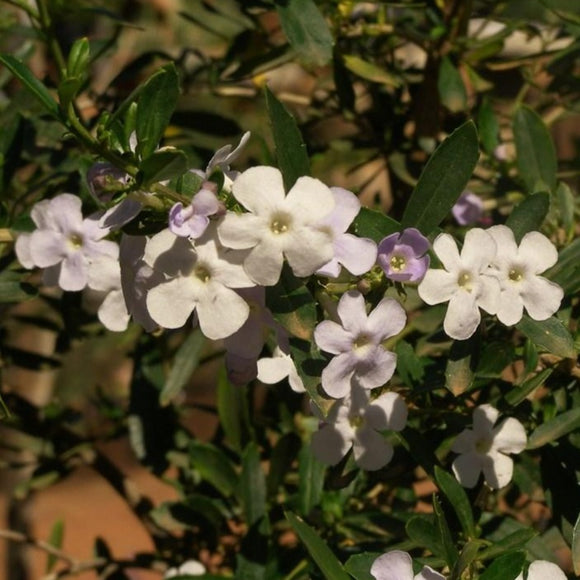 Freylinia White