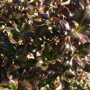 Coprosma Copper Shine