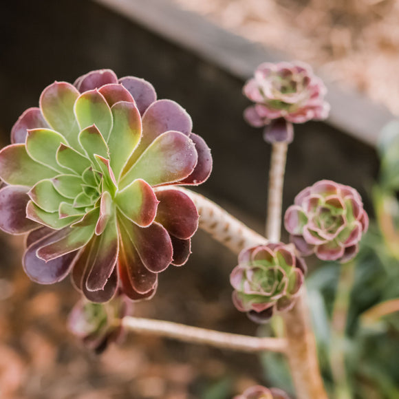 AEONIUM - Leucoblepharum (Brown Orange)