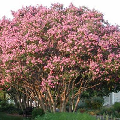 LAGERSTROEMIA INDICA - Pride of India