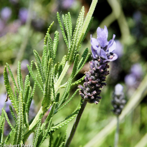 LAVANDULA DENTATA - French Green