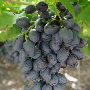 Grapes - Barlinka (Black)