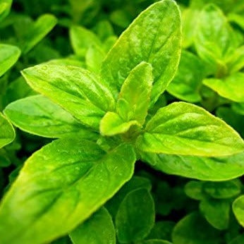 OREGANO - French