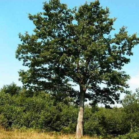 QUERCUS CERRIS - Turkish Oak