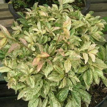 Acalypha - Variegated