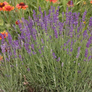 LAVENDER ANGUSTIFOLIA - English