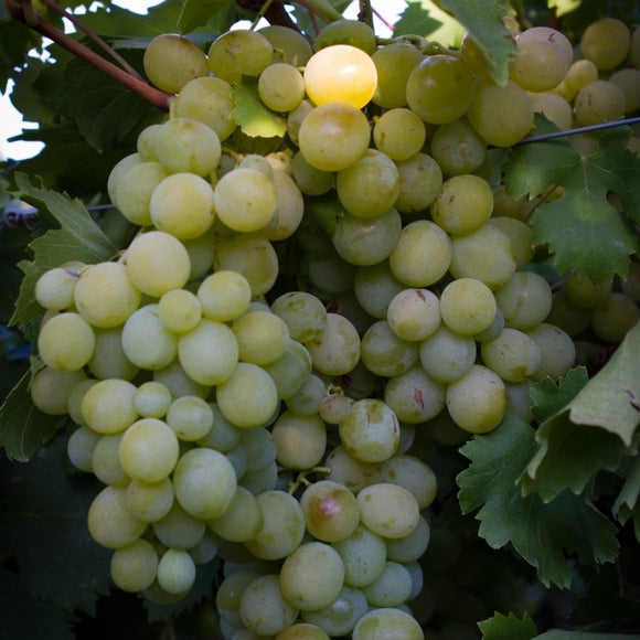 Grapes - Hanepoot (White)