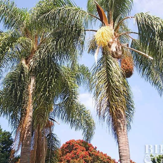 COCOS PLUMOSA - Queen Palm