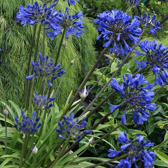 AGAPANTHUS - Purple Delight