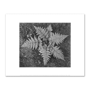 Ansel Adams, Ferns In Glacier National Park, Fine Art Prints in various sizes by Museums.Co