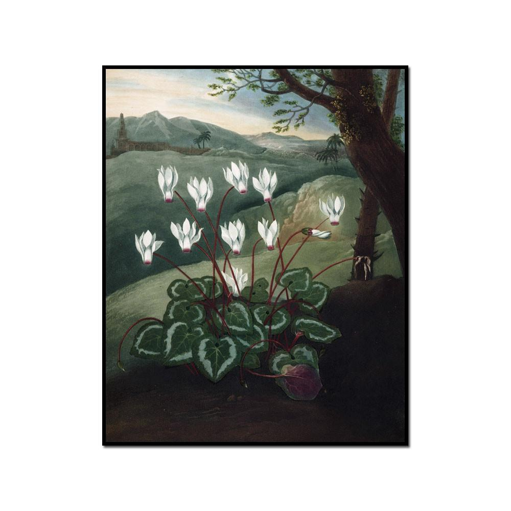 The Persian Cyclamen by Robert John Thornton Artblock