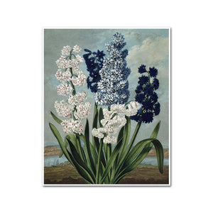Hyacinths by Robert John Thornton Artblock