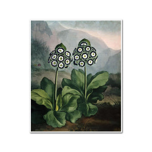 A Group of Auriculas by Robert John Thornton Artblock