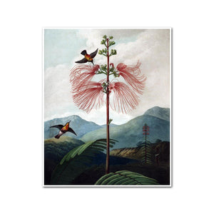 Large Flowering Sensitive Plant by Robert John Thornton Artblock