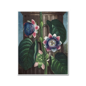 The Quadrangular Passion-flower by Robert John Thornton Artblock