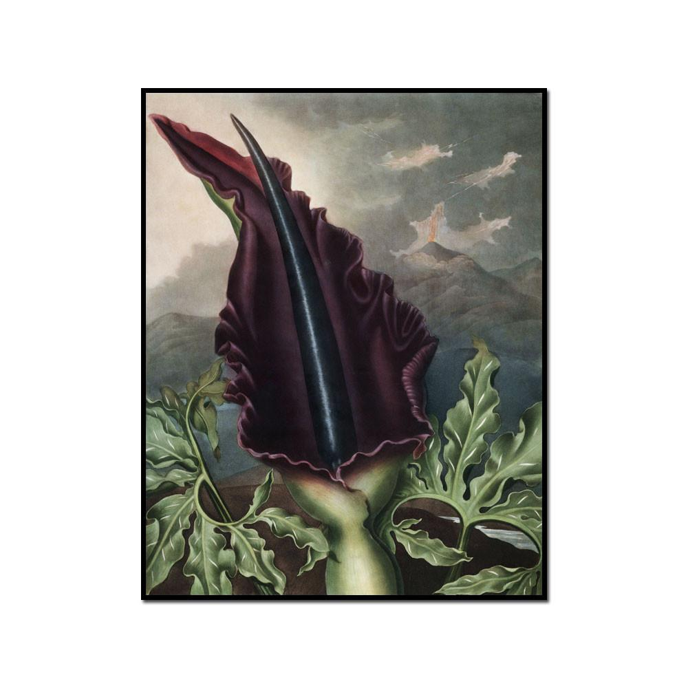 The Dragon Arum by Robert John Thornton Artblock
