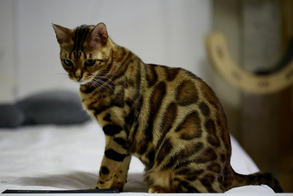 Why Does My Bengal Cat Pee Everywhere Pet S Satisfaction,Greek Pita Sandwich