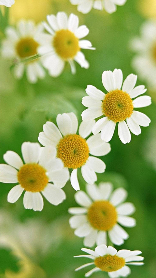 Nature Little Daisy Macro Iphone 11 Pro Max Wallpaper