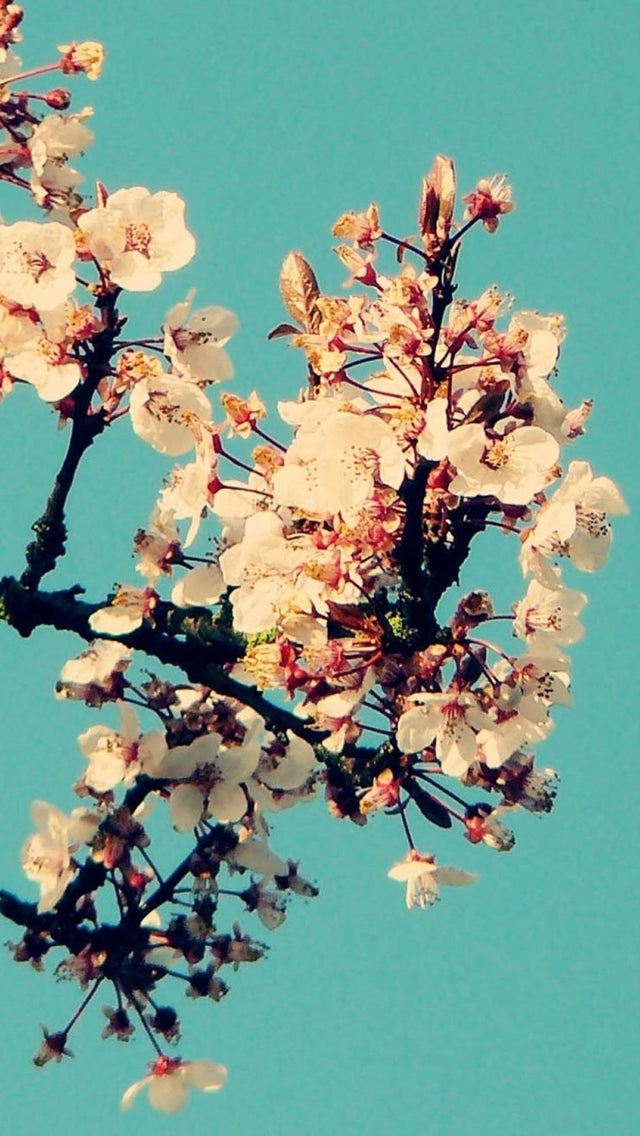 Sunny Cherry Blossom In Cyan Sky Iphone 11 Pro Max Wallpaper