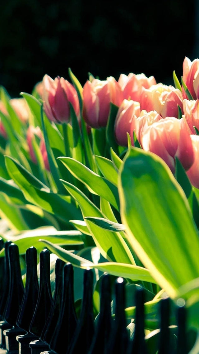 Tulip Flower Beside Fence Iphone 11 Pro Max Wallpaper