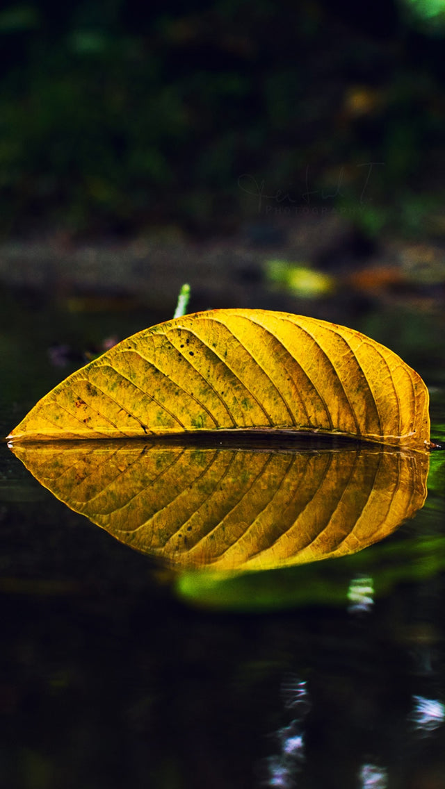 Yellow Leaf On Water Iphone 11 Pro Max Wallpaper