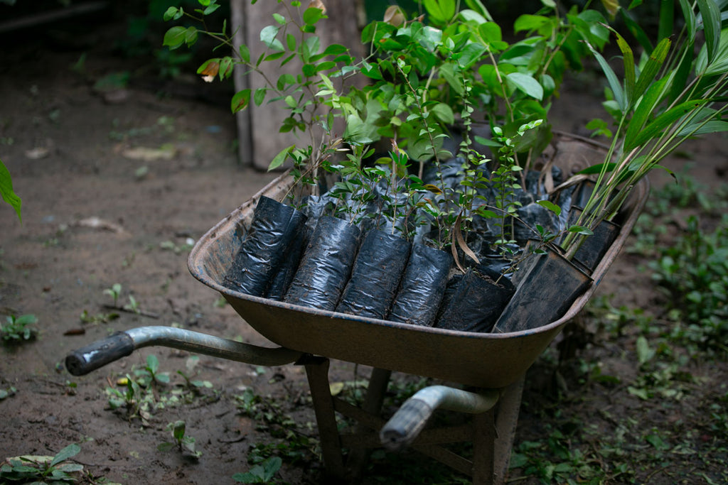 Image of trees being planted in the Peruvian Amazon