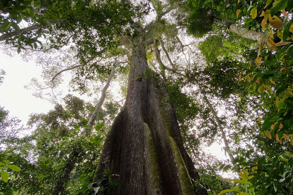Image of a tree in the Peruvian Amazon