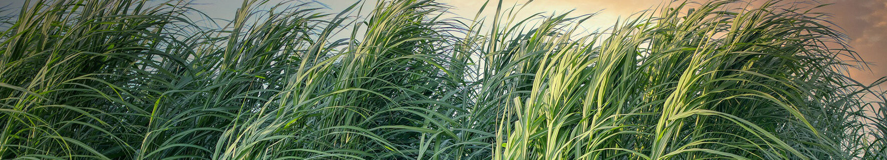 Sugarcane in which our eco 3D wall panels are made from.