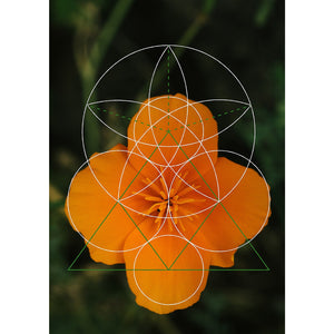 California Poppy - Botanical Geometry Study