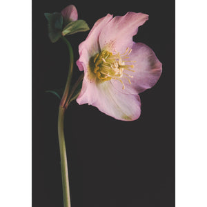 Hellebores - Winter Rose