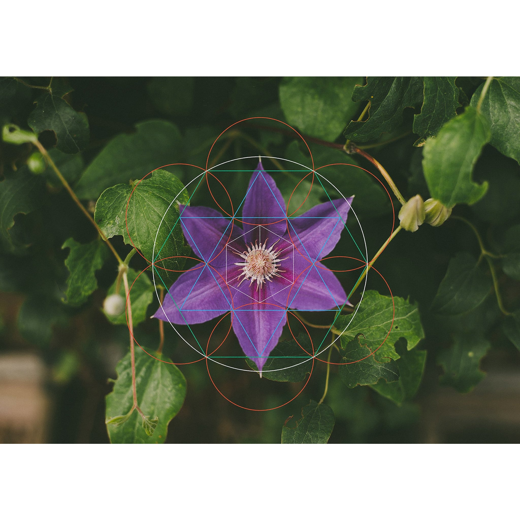 Purple Flower (name unknown) - Botanical Geometry Study