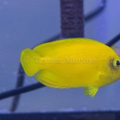 Yellow Angelfish (Centropyge heraldi)