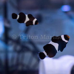 Black Ocellaris Clown (Amphiprion ocellaris) Captive Bred G