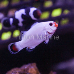 Platinum Clowns (Amphiprion Percula) Captive Bred G